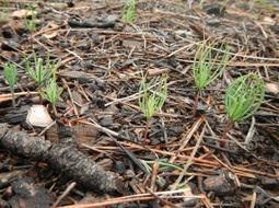 Too many pine seedlings in northern Arizona? | AZ Daily Star | CALS in the News | Scoop.it