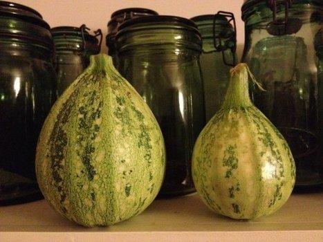 Le jardin sans pétrole - Eloge de la courgette, venue d'Amérique et délicieuse en lasagne | Jardin Potager Biologique | Scoop.it