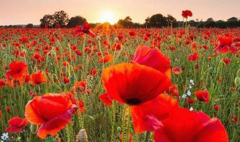 Grow with pride: The reason we remember WWI with poppies | WWI | News | Daily Express | Nos Racines | Scoop.it