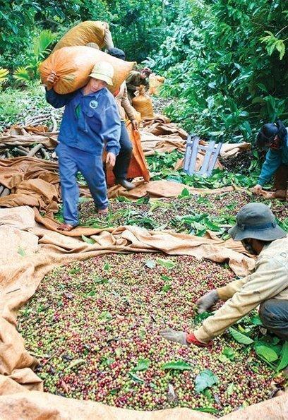 Vietnam considers joining big exporters to stop coffee price slide - News VietNamNet | Vietnam: Inclusive & Sustainable Agriculture | Scoop.it