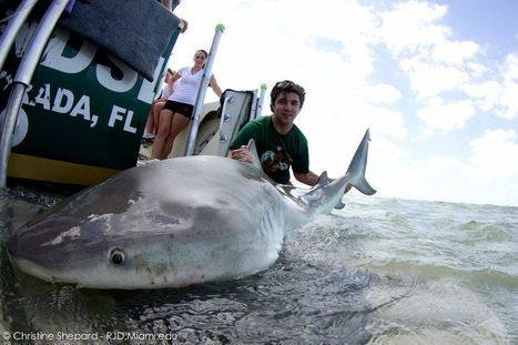The Florida Everglades: Lair of the Bull Shark | RSMAS Blog | All about water, the oceans, environmental issues | Scoop.it