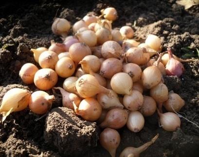 Почему я предпочитаю посадку лука под зиму / Огород / 7dach.ru | Огородные новости | Scoop.it