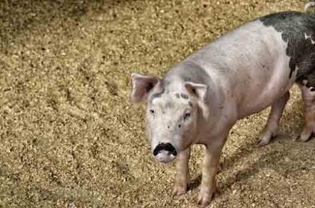 Filière porcine : Système U et Terrena prouvent que l'entente producteurs/distributeurs est possible | agro-media.fr | Actualité de l'Industrie Agroalimentaire | agro-media.fr | Scoop.it