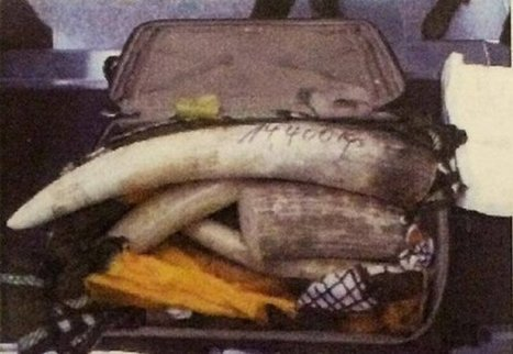 Elephant Ivory poaching kingpin nabbed in Zimbabwe | What's Happening to Africa's Rhino? | Scoop.it