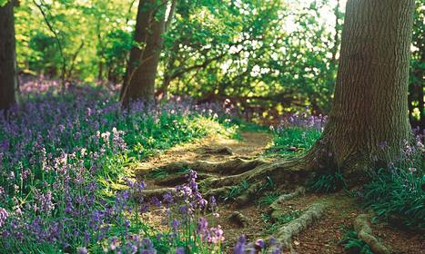 Gardens: bluebells | Garden, landscape, plants, flowers | Scoop.it