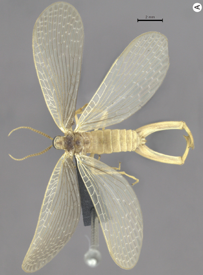 New species of forcepflies discovered in Brazil, only third known in its bizarre family | Film, Art, Design, Transmedia, Culture and Education | Scoop.it