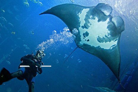Ever seen a manta ray's bellybutton? | Ocean News | Scoop.it