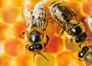 Worldwide Honey Bee Collapse: A Lesson in Ecology – EcoWatch ... | Ecology | Scoop.it