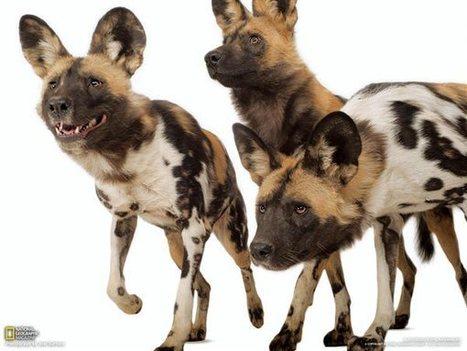 Licaones, Zoo y Acuario Henry Doorly, Omaha, Nebraska | animals are in everywhere | Scoop.it