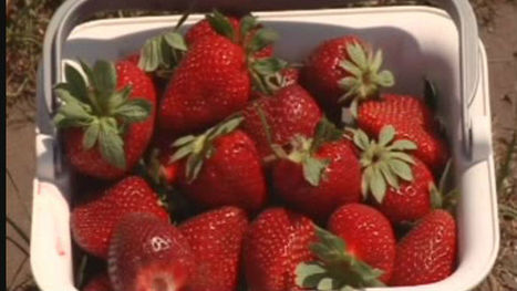 Carolina Strawberry Festival to kick off in Wallace | WECT-TV | No