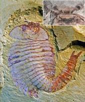 Cambrian fossil pushes back evolution of complex brains | Evolve! | Scoop.it