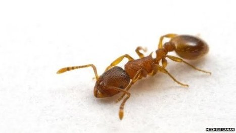 Variation in ant nest 'personality' | BBC News | CALS in the News | Scoop.it