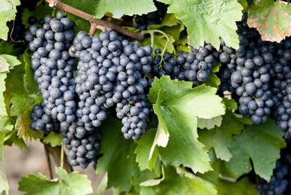 Wines Role In Lowering Type 2 Diabetes Risk Studied- Vigier | Diabetes Counselling Online | Scoop.it