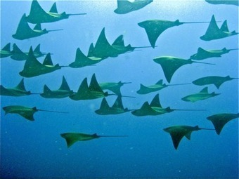 Pacific Cow Nosed Rays | Costa Rica Scuba Diving | Rays' world - Le monde des raies | Scoop.it