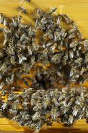 Bienen: Forschungsprojekte für Erhalt und Zucht - TASPO   Bienen   Scoop.it