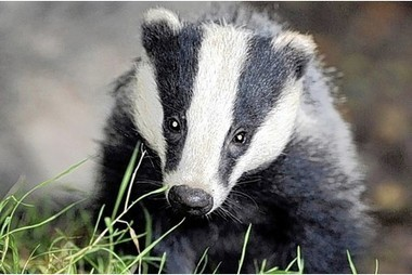 Badger culling banned on council land - Derby Telegraph   Francesca Clark   Scoop.it