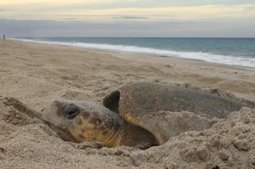 For sea turtles, there's no place like magnetic home | Blue Planet | Scoop.it