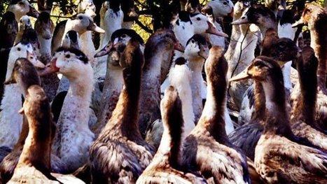 Relaxe d'un producteur de foie gras poursuivi par une association anti-gavage | Agriculture en Dordogne | Scoop.it