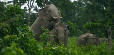 Au Cambodge, des images d'éléphants sauvages, synonymes d'espoir pour l'espèce | Le Cambodge, autrement | Scoop.it