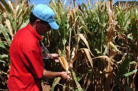 Ambientalistas y campesinos piden rechazo al maíz transgénico en ... | pros y contras de la mejora a nuestra salud | Scoop.it