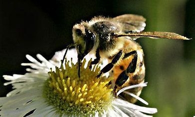 Garden centres weed out insecticides to help save bees | Conservation & Environment | Scoop.it