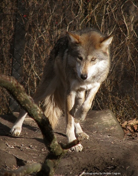 Changes Needed to Help Mexican Wolves | GarryRogers Biosphere News | Scoop.it