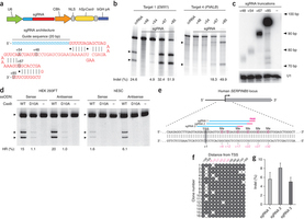 DNA targeting specificity of RNA-guided Cas9 nucleases | SynBioFromLeukipposInstitute | Scoop.it