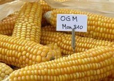 'Non!': France Bans Monsanto's Genetically Modified Corn | YOUR FOOD, YOUR ENVIRONMENT, YOUR HEALTH: #Biotech #GMOs #Pesticides #Chemicals #FactoryFarms #CAFOs #BigFood | Scoop.it