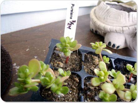 shelterrific » Blog Archive » new obsession: purslane   Garden Designer   Scoop.it