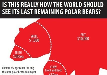 Help Stop the Killing of More Than 500 Polar Bears Each Year from International Trade in Fur and Parts | EcoWatch | Scoop.it