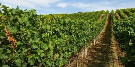 Bordeaux : la filière vin menacée par le dépérissement des vignes | Marketing - Vins et spiritueux | Scoop.it
