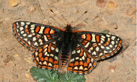 Endangered butterfly defies climate change with new diet and habitat | Climate change challenges | Scoop.it