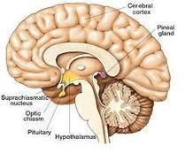 Pourquoi notre cerveau ressemble-t-il à une grosse noix ? | L'éducation en question | Scoop.it