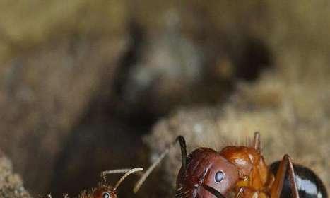 Team reprograms social behavior in carpenter ants using epigenetic drugs   animals and prosocial capacities   Scoop.it