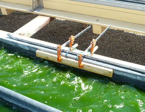 Explainer: what are algal biofuels? | Vertical Farm - Food Factory | Scoop.it