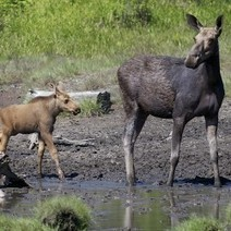 What's happening to all the moose? - Bangor Daily News | Hunting | Scoop.it