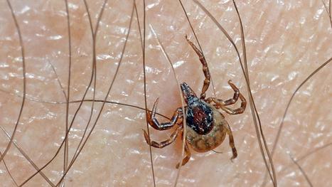 Les tiques porteuses de la bactérie de Lyme plus résistantes | EntomoNews | Scoop.it