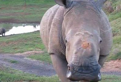 Good Rhino News: Miracle for Two! | What's Happening to Africa's Rhino? | Scoop.it