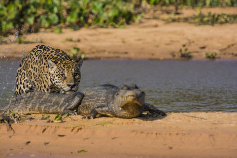 PHOTOS: Jaguar Meets Caiman In Predatory Fight | Science & Technology Topics | Scoop.it