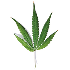 How Safe is Recreational Marijuana?: Scientific American | Weird and Crazy Things | Scoop.it