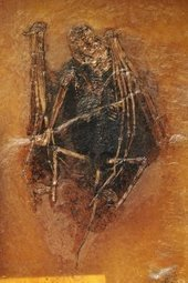 Fossilized fur reveals color of 49-million-year-old bats - Business Insider | Bat Biology and Ecology | Scoop.it
