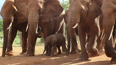 Un éléphant sauvage retourne dans son ancien orphelinat pour donner naissance