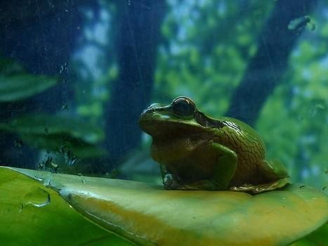 Photo de Grenouille : Smilisca phaeota - New Granada cross-banded tree frog | Fauna Free Pics - Public Domain - Photos gratuites d'animaux | Scoop.it