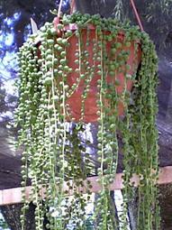 Rosário – Senecio rowleyanus | Jardineiro.net | paisajismo | Scoop.it