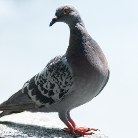 What does Google's Local Pigeon Algorithm Update mean for... | Digital Marketing | Scoop.it
