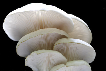 Uses of Fungus | Bacteria and Fungi | Scoop.it