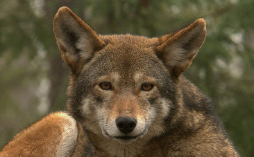 Red Wolf Recovery Under Assault in North Carolina | Endangered Wildlife | Scoop.it