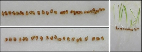 BMC Plant Biology | Full text | Metabolic patterns associated with the seasonal rhythm of seed survival after dehydration in germinated seeds of Schismus arabicus | Bing Bai | Scoop.it