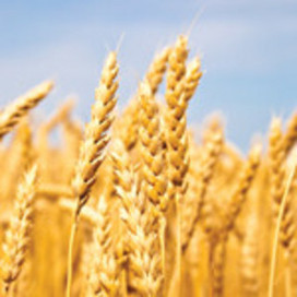 Rothamsted mention: How to make vanillin from wheat | BIOSCIENCE NEWS | Scoop.it