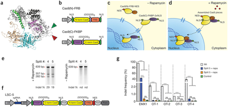 A split-Cas9 architecture for inducible genome editing and transcription modulation   Awesome Science That  I Like   Scoop.it